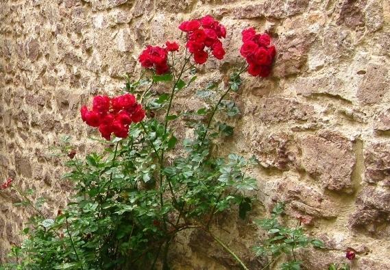 Blühende Rosen am Torweg von Burg Alt-Eberstein